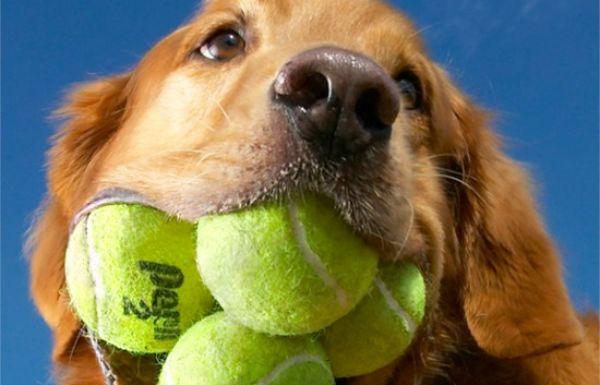 dog tennis balls 2
